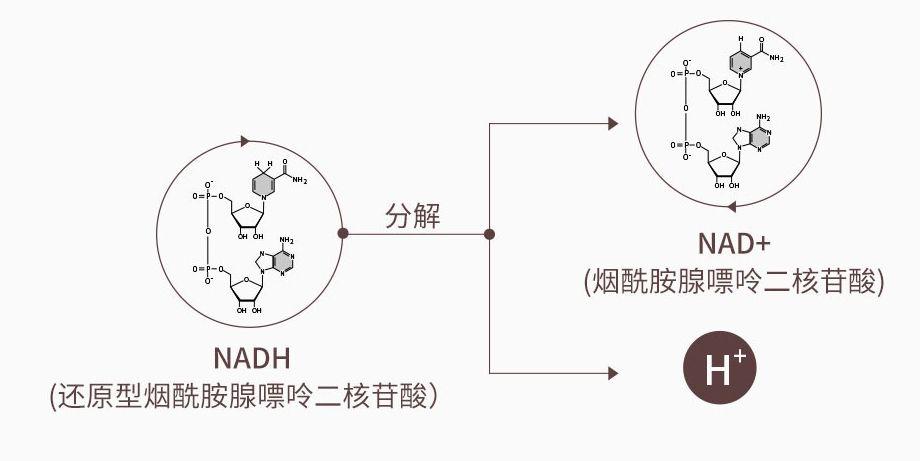 NADH和NAD的转化图