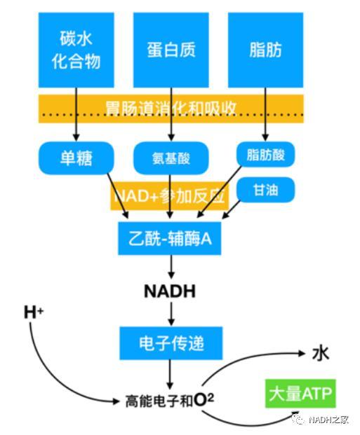 NAD+激活长寿蛋白