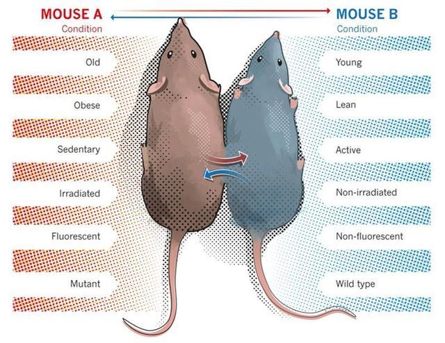 发表于《衰老》杂志的小鼠研究对比,稀释年老小鼠的血液就可以逆转衰老。