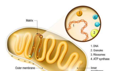 赛立复线粒体研究:血糖高居不下?可能是线粒体出现了问题!